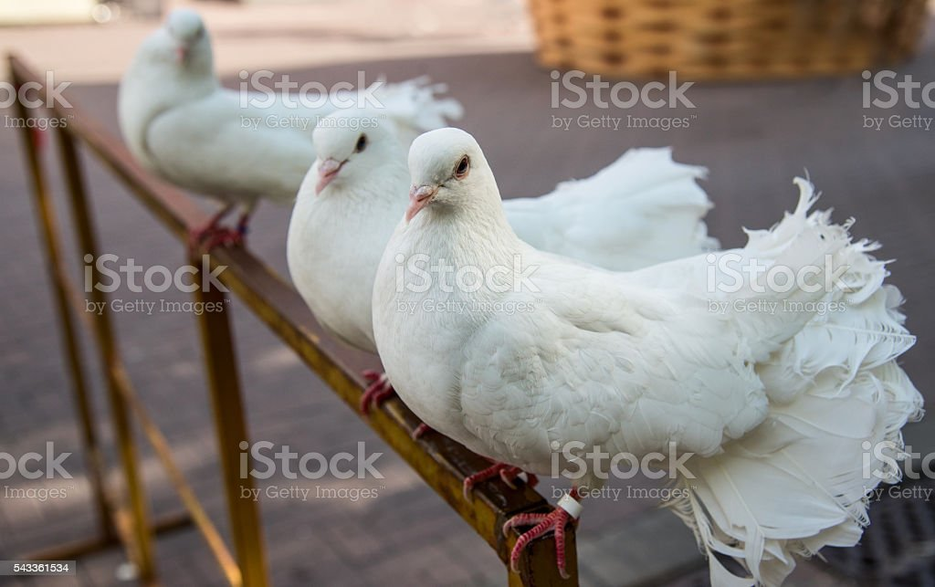 Three pigeons on a perch stock photo