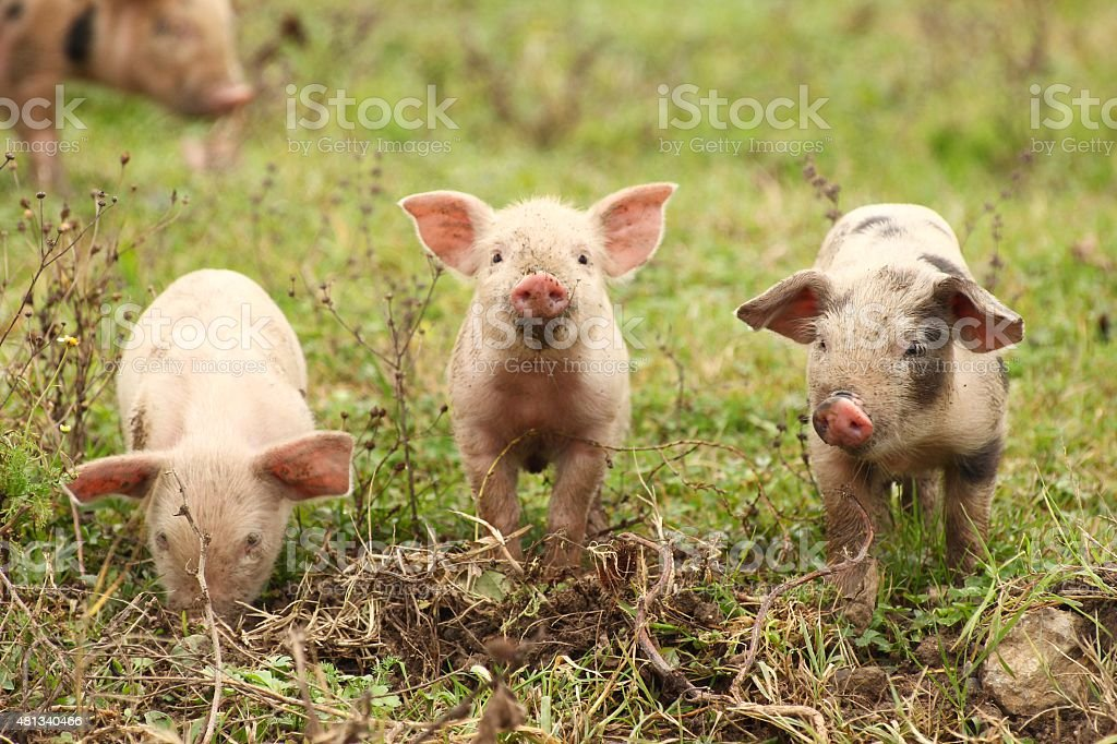Three piglets stock photo