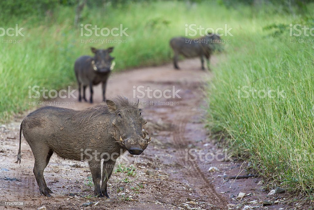 Three pigs - boars royalty-free stock photo