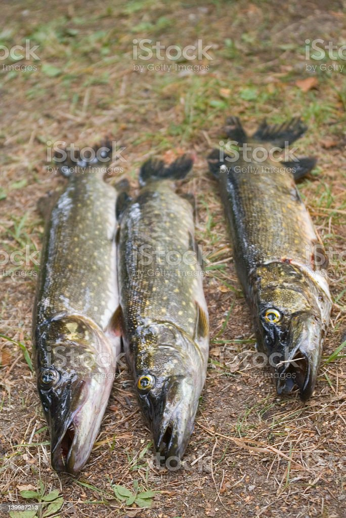 Three pikes on the grass royalty-free stock photo