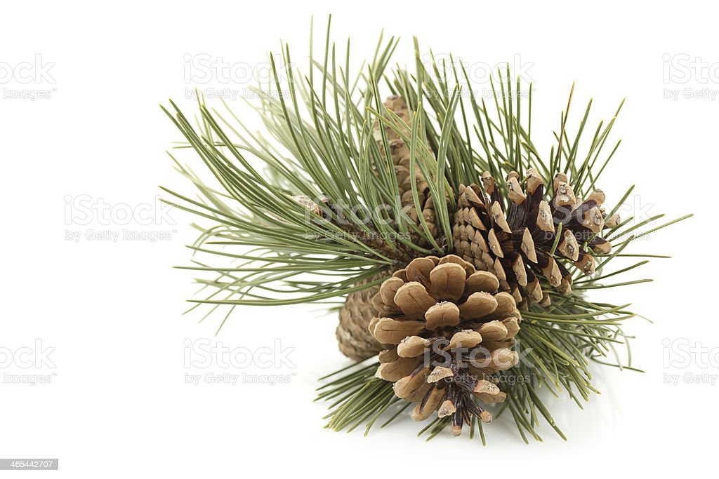 Three pine cones with green pine tree needles stock photo