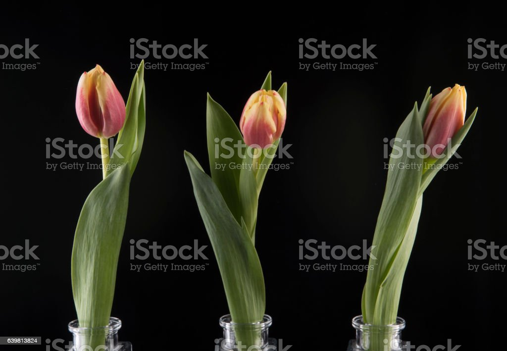 Three pink and yellow tulips in glass vases stock photo