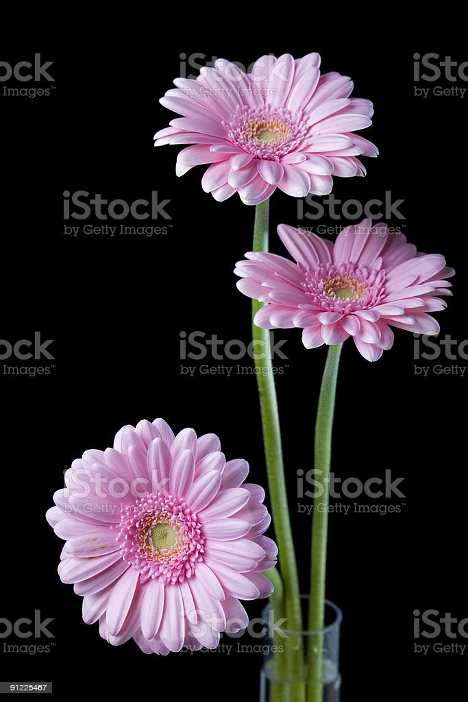 Three pink gerberas on black background royalty-free stock photo