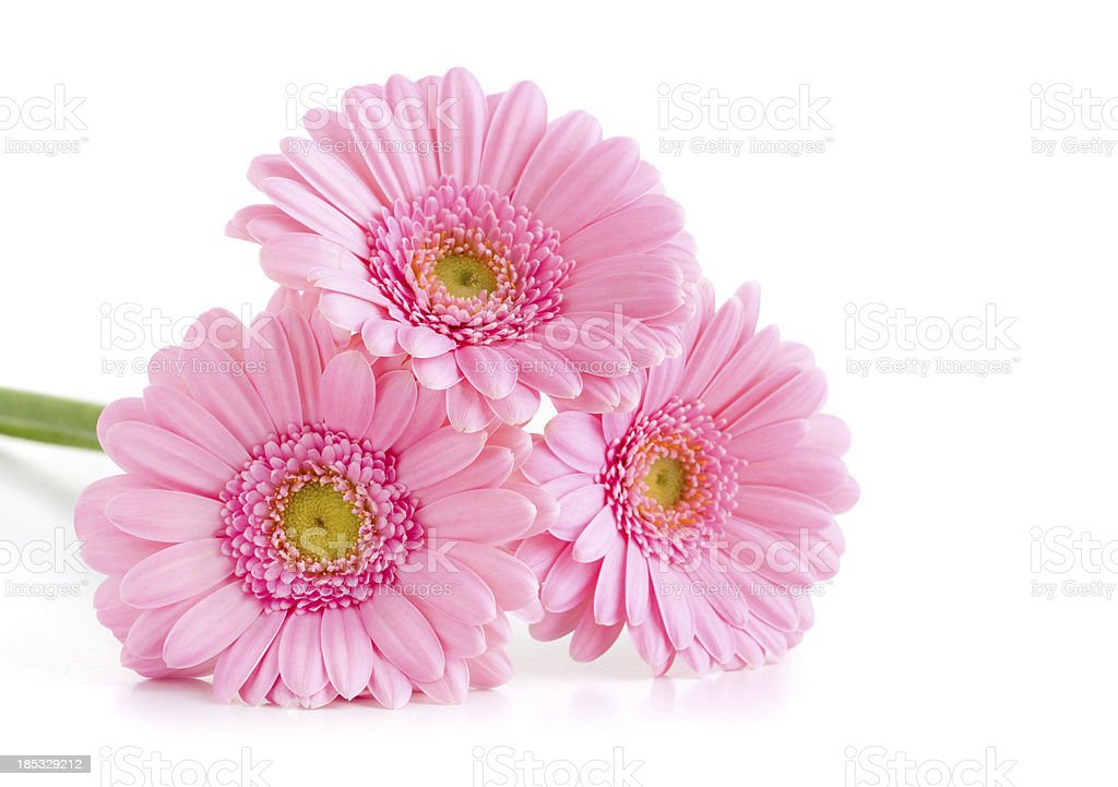 Three Pink Gerberas royalty-free stock photo