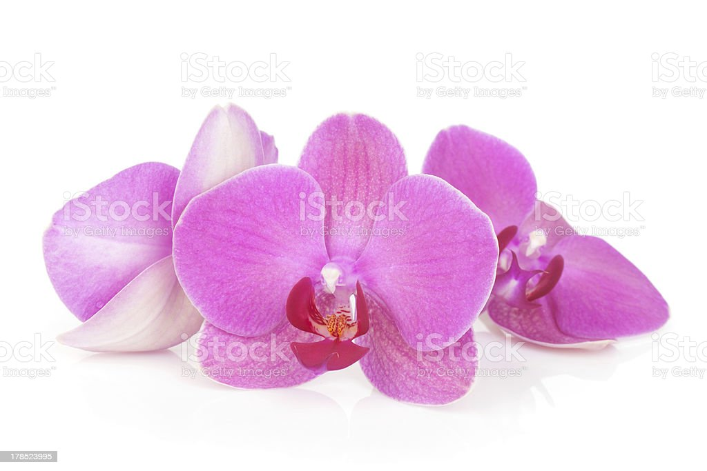 Three pink orchid flowers stock photo