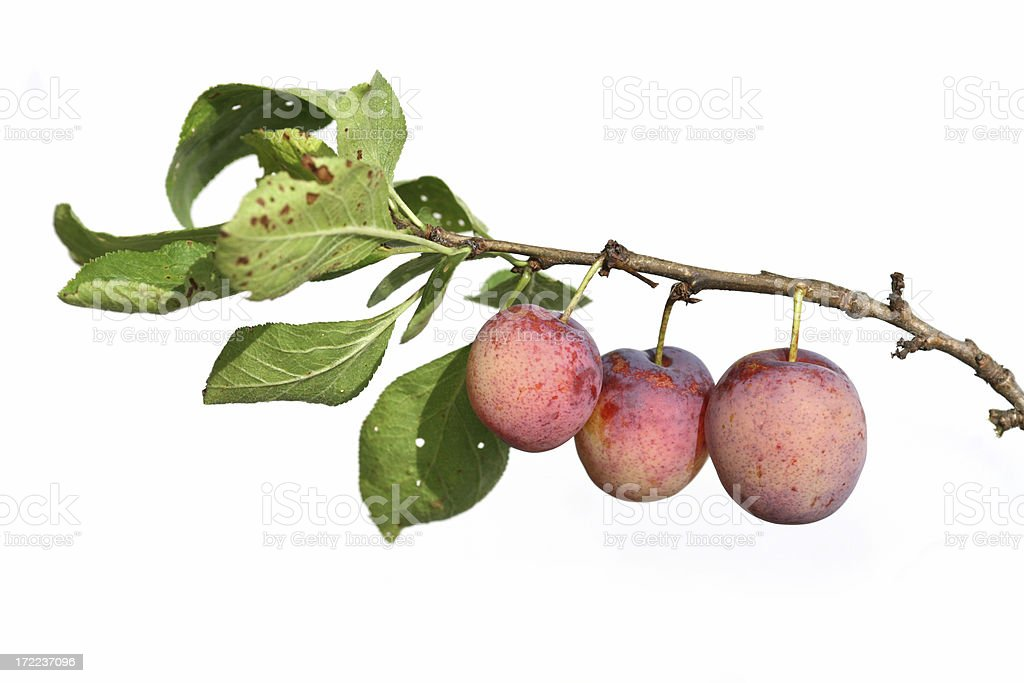 Three plums and branch isolated on white stock photo
