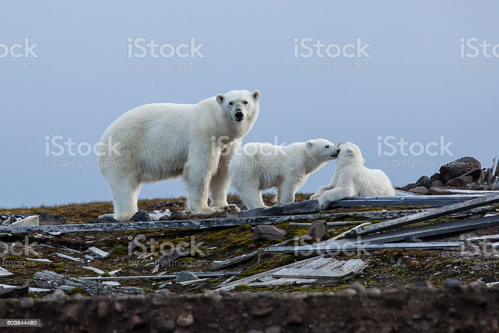 Three polar bears in the Russian arctic stock photo
