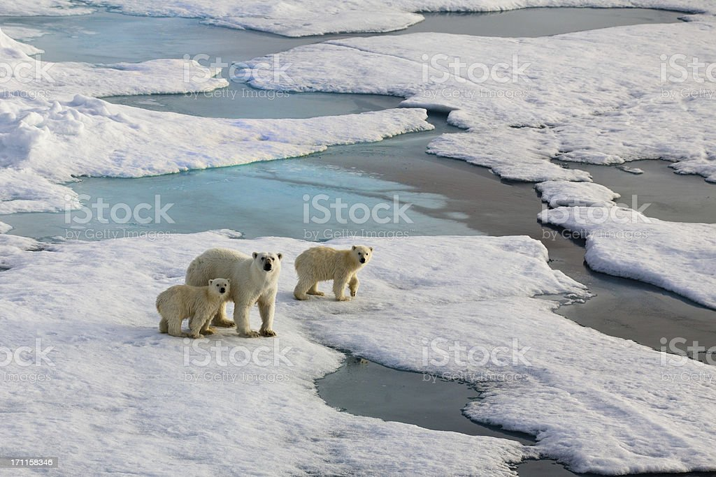 Three Polar bears on an ice flow stock photo