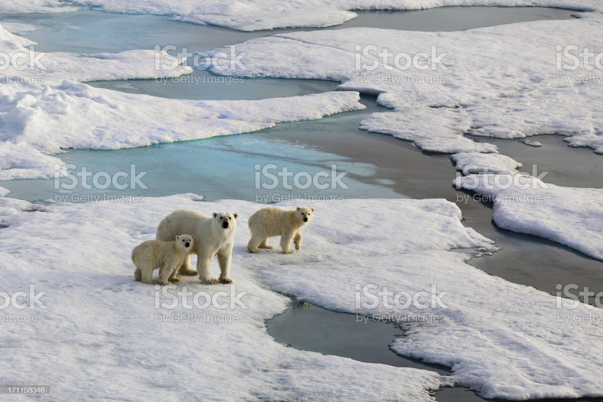Three Polar bears on an ice flow royalty-free stock photo