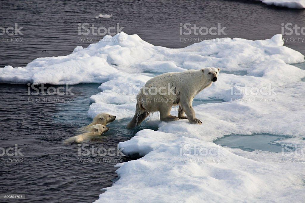 Three Polar bears on an ice flow stock photo