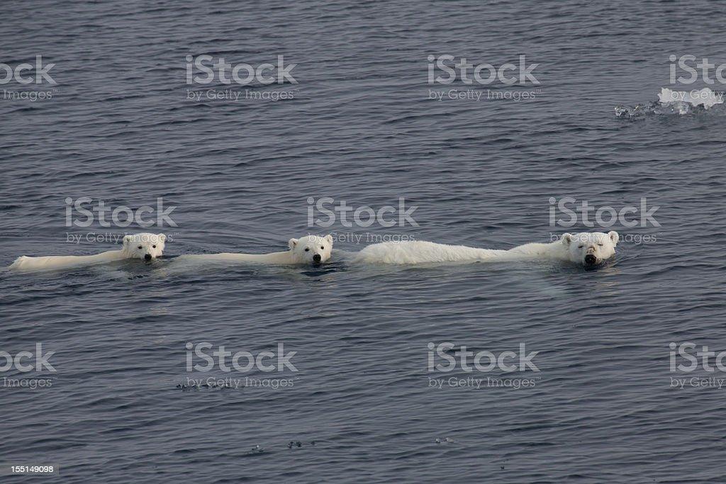 Three Polar bears swimming in the arctic ozean stock photo