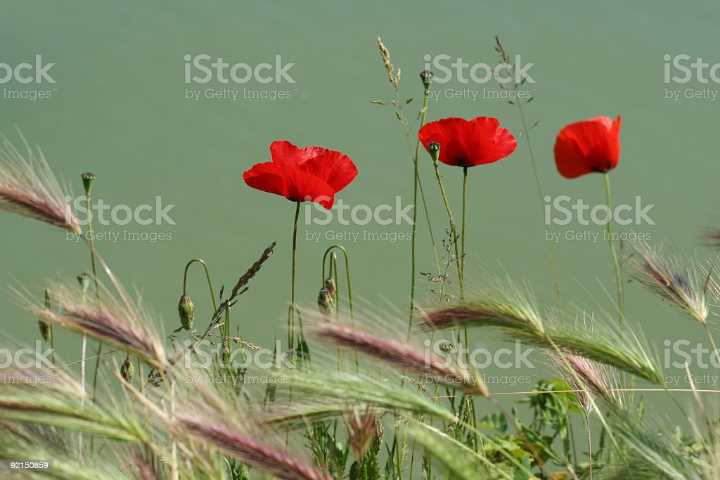 Three poppies by a lake royalty-free stock photo