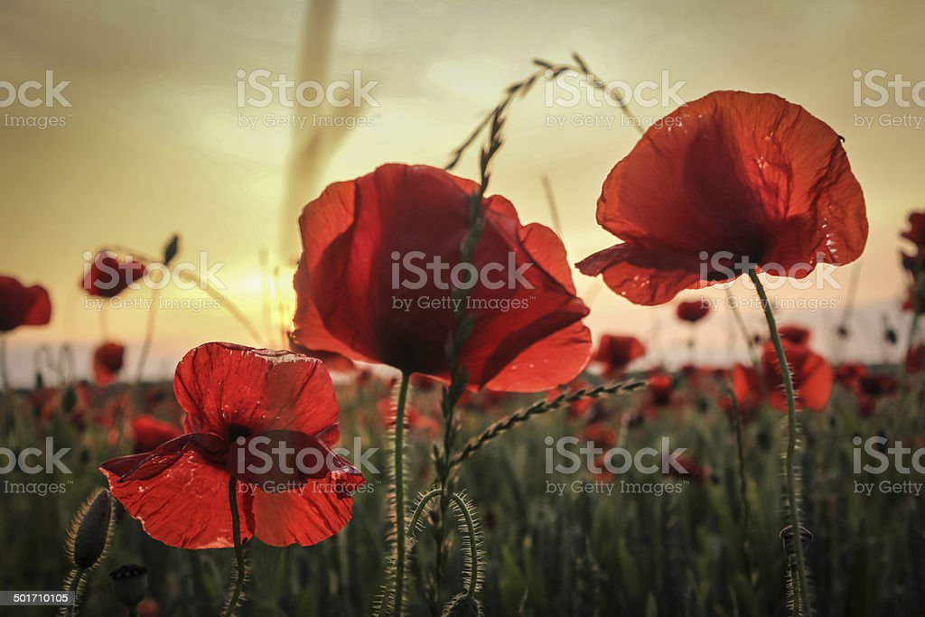 Three poppies in a poppy field at sunset stock photo