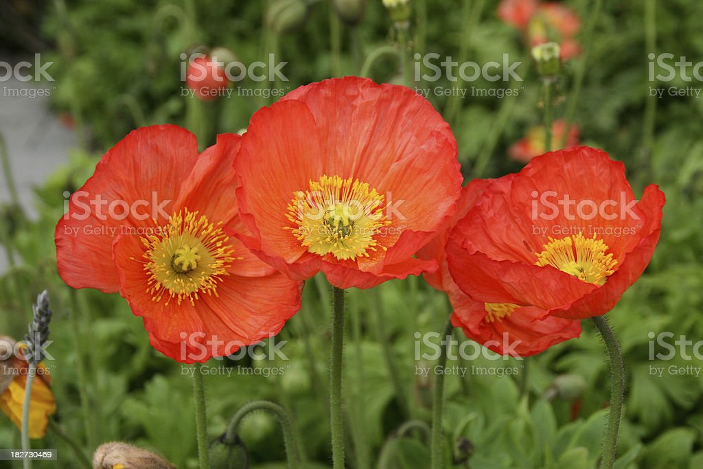 Three Poppies royalty-free stock photo