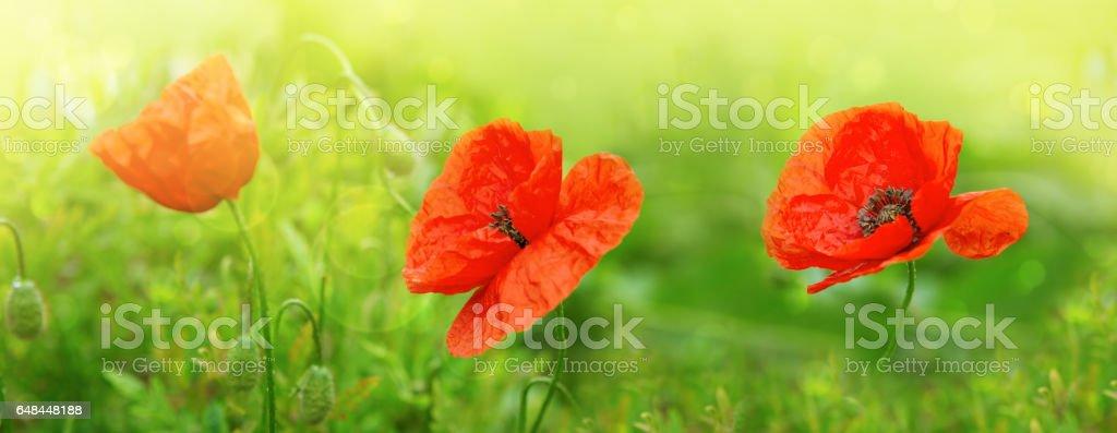 Three Poppy flowers isolated on green stock photo