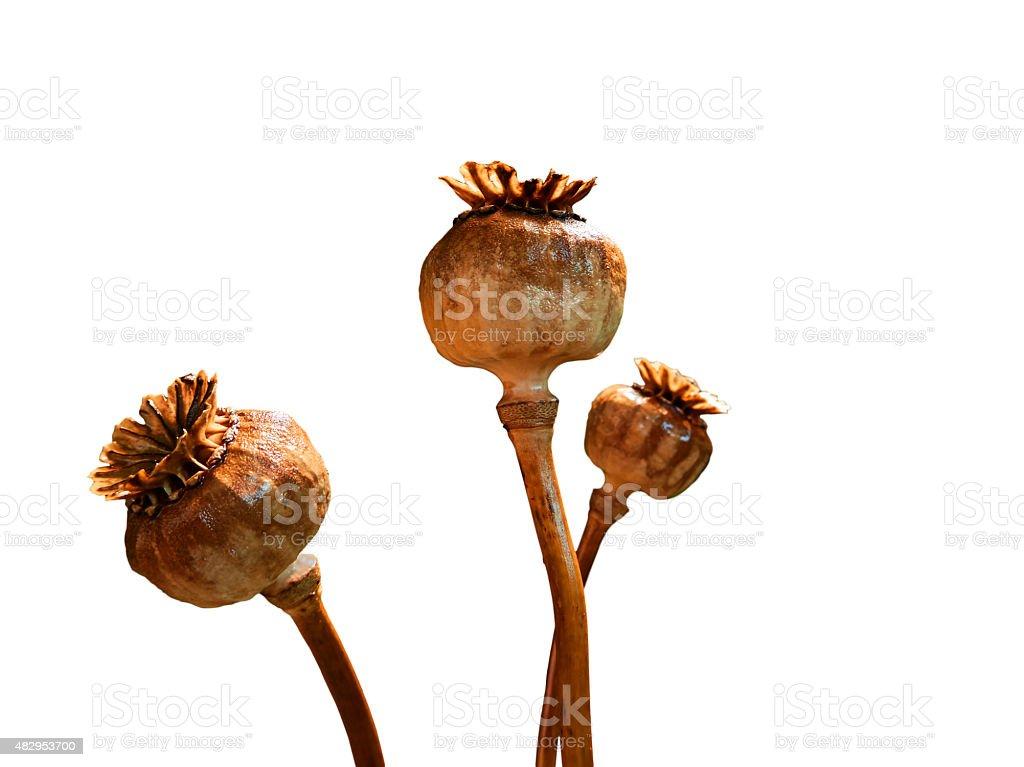 Three poppy heads royalty-free stock photo