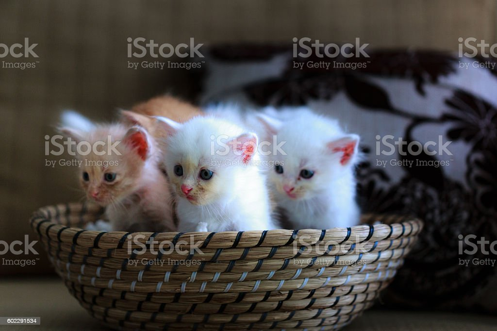 Three pretty and cute kitten sitting in a basket stock photo