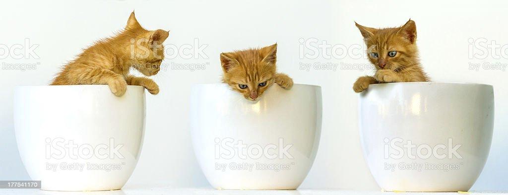 Three pretty kitten peeking out of their bowls royalty-free stock photo