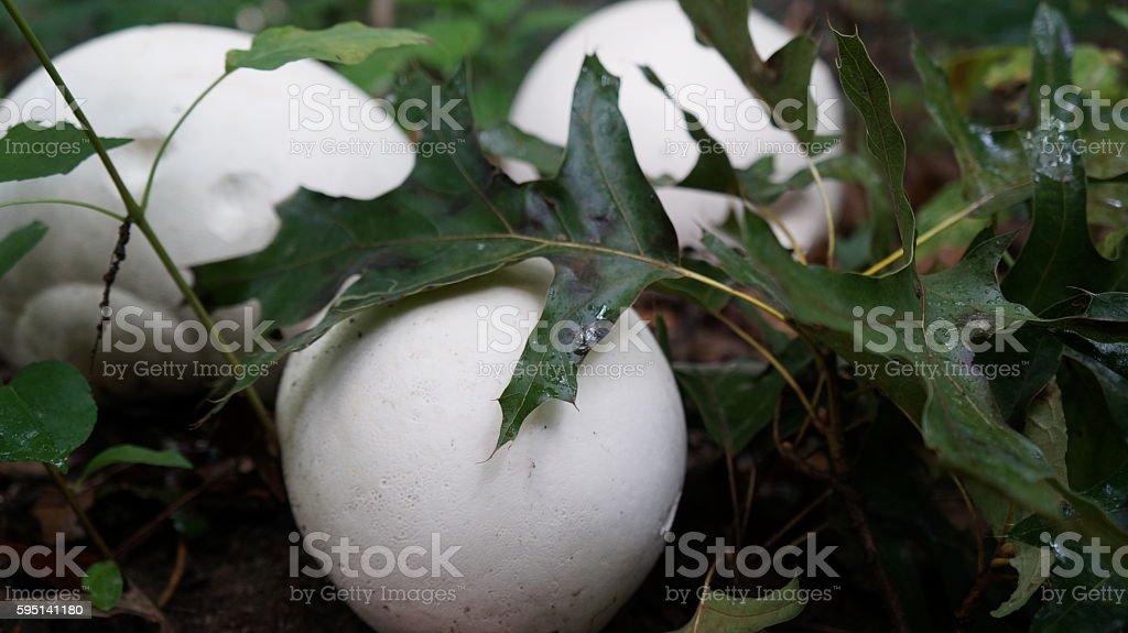 Three Puffball Mushrooms (Calvatia gigantea) stock photo
