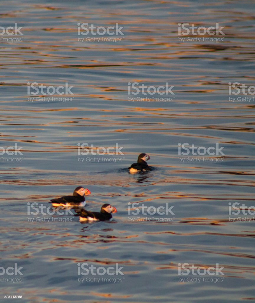 Three puffins swimming on blue and orange water stock photo