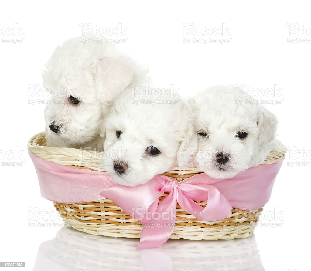 three puppies in a basket royalty-free stock photo