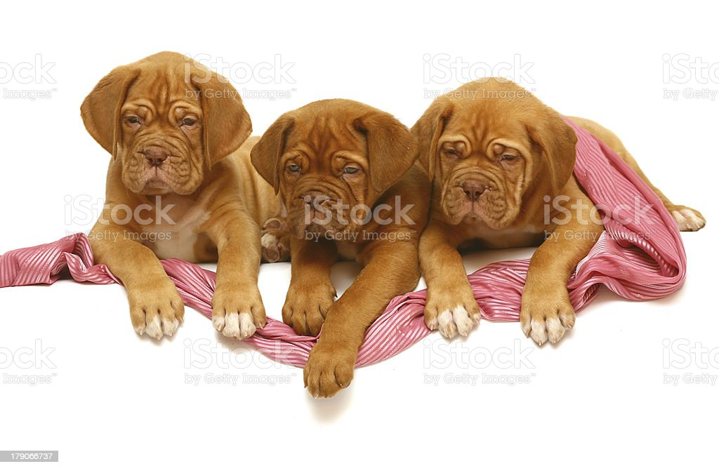Three puppies of breed a mastiff from Bordeaux. royalty-free stock photo
