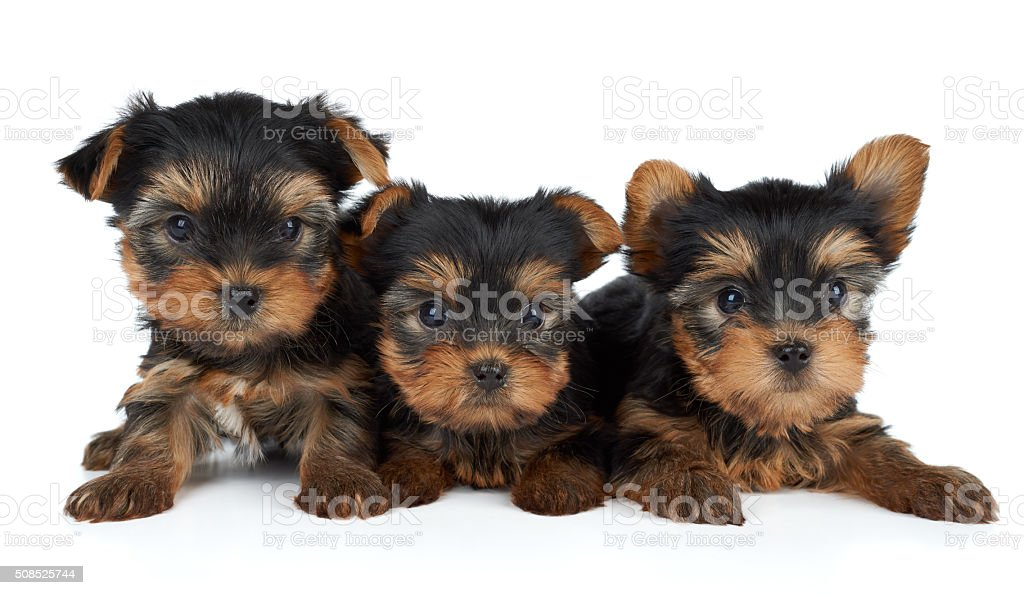 Three puppies on white stock photo