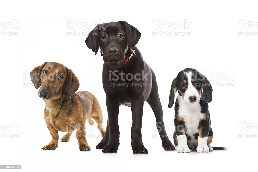 three puppies royalty-free stock photo