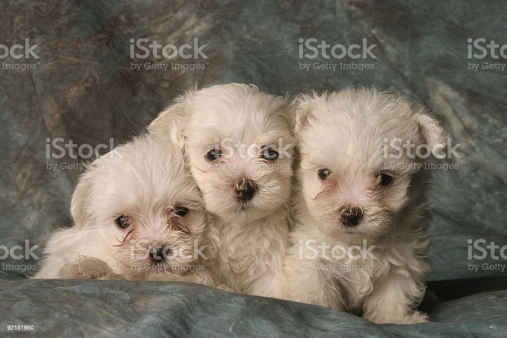 Three Puppies royalty-free stock photo