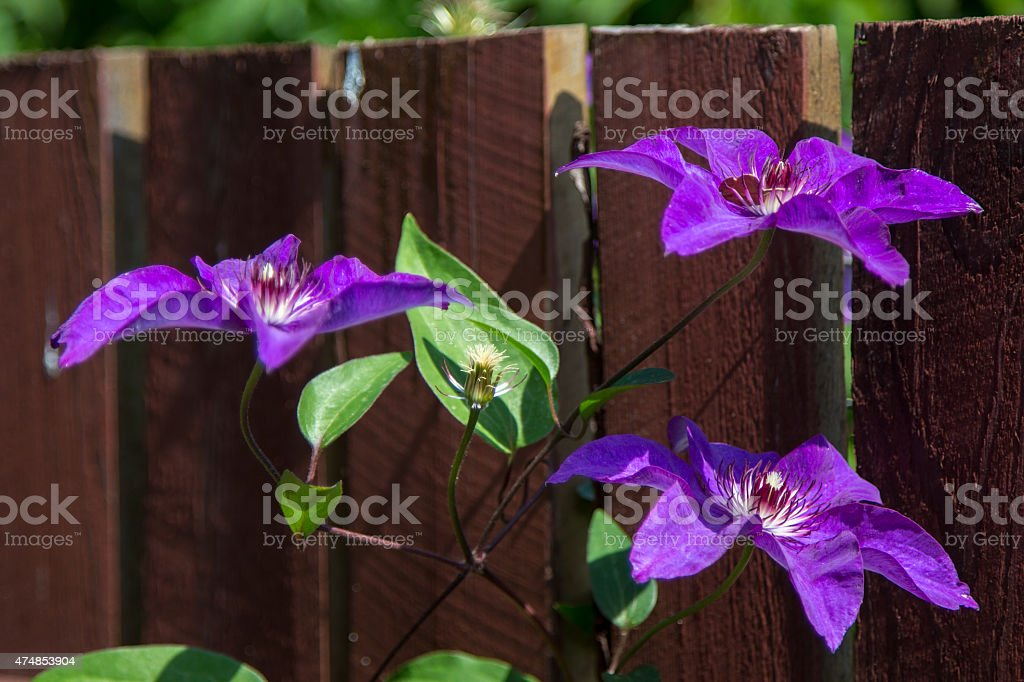 three purple flowers on a branch on the fence stock photo