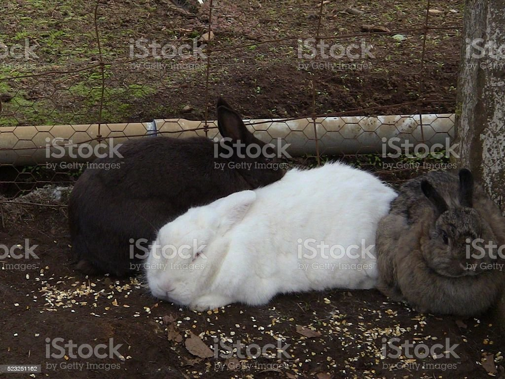 Three Rabbits in an Outdoor Pen stock photo