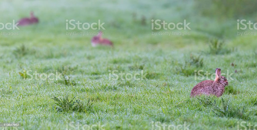 Three rabbits in Spring meadow stock photo