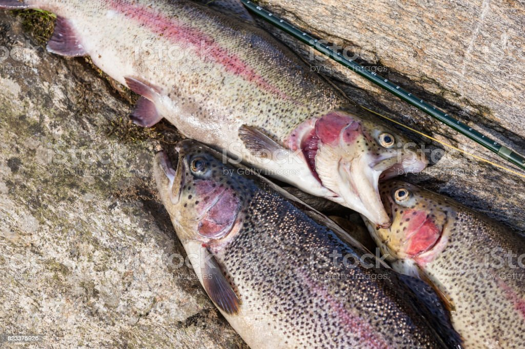 Three rainbow trout laying on stone. Trout fishing on the Otace River. Fly on Otava, South Bohemia. stock photo