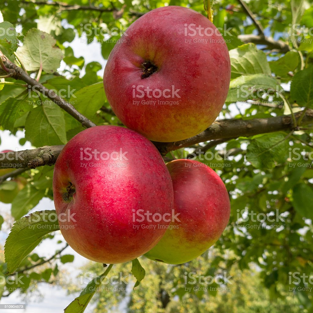 Three red apples on the tree royalty-free stock photo