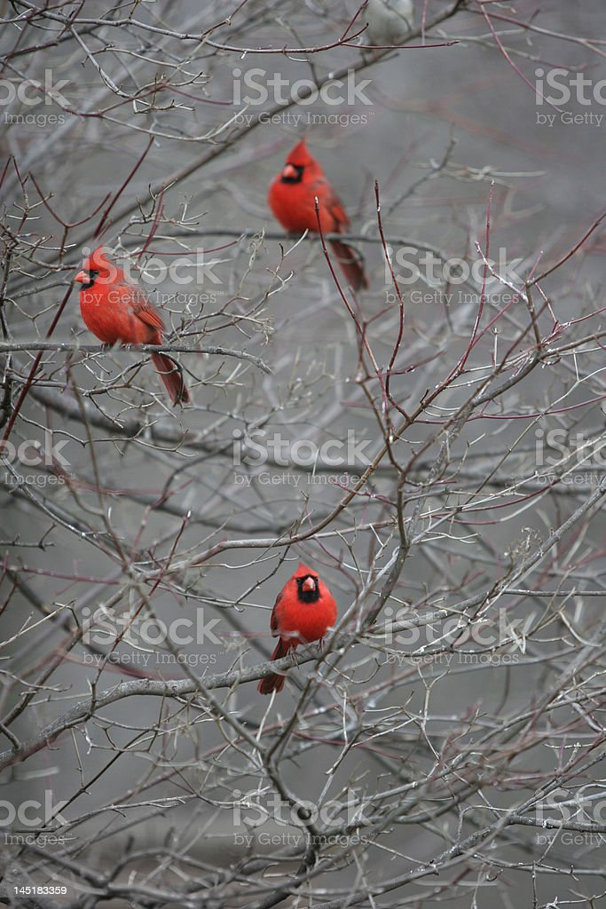 Three Red Cardinals stock photo
