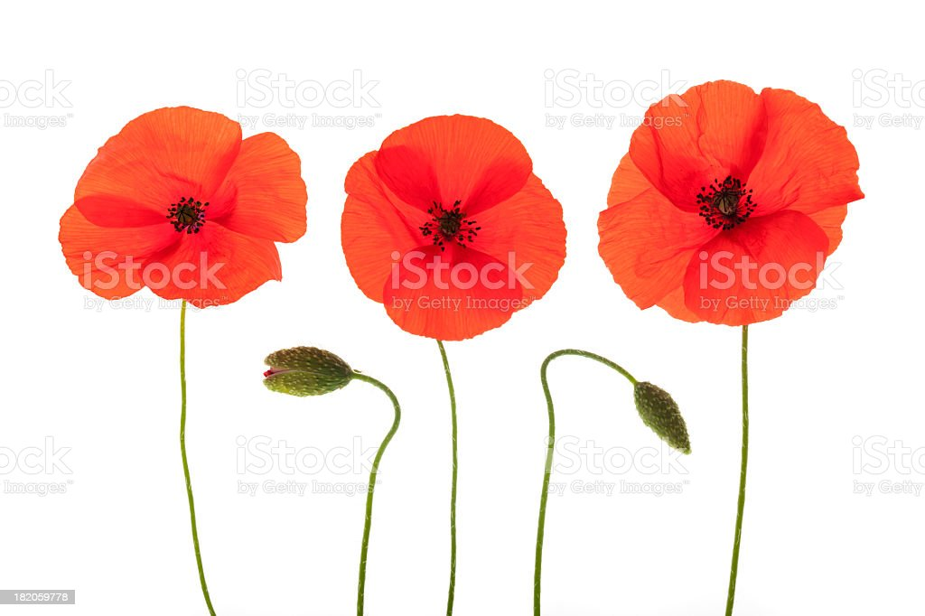 Three red corn open poppies and two buds stock photo