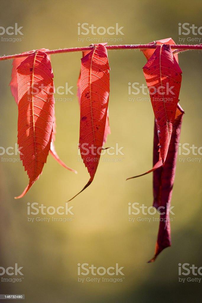 Trois feuilles d'automne rouge photo libre de droits