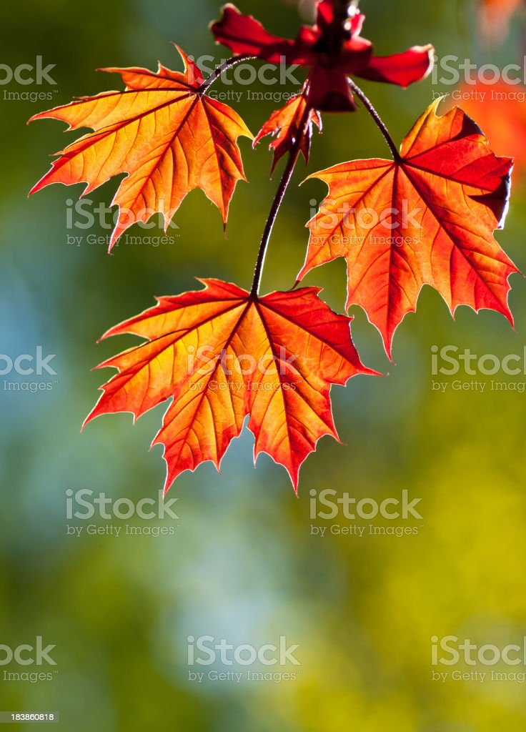 Three Red Maple leaves royalty-free stock photo