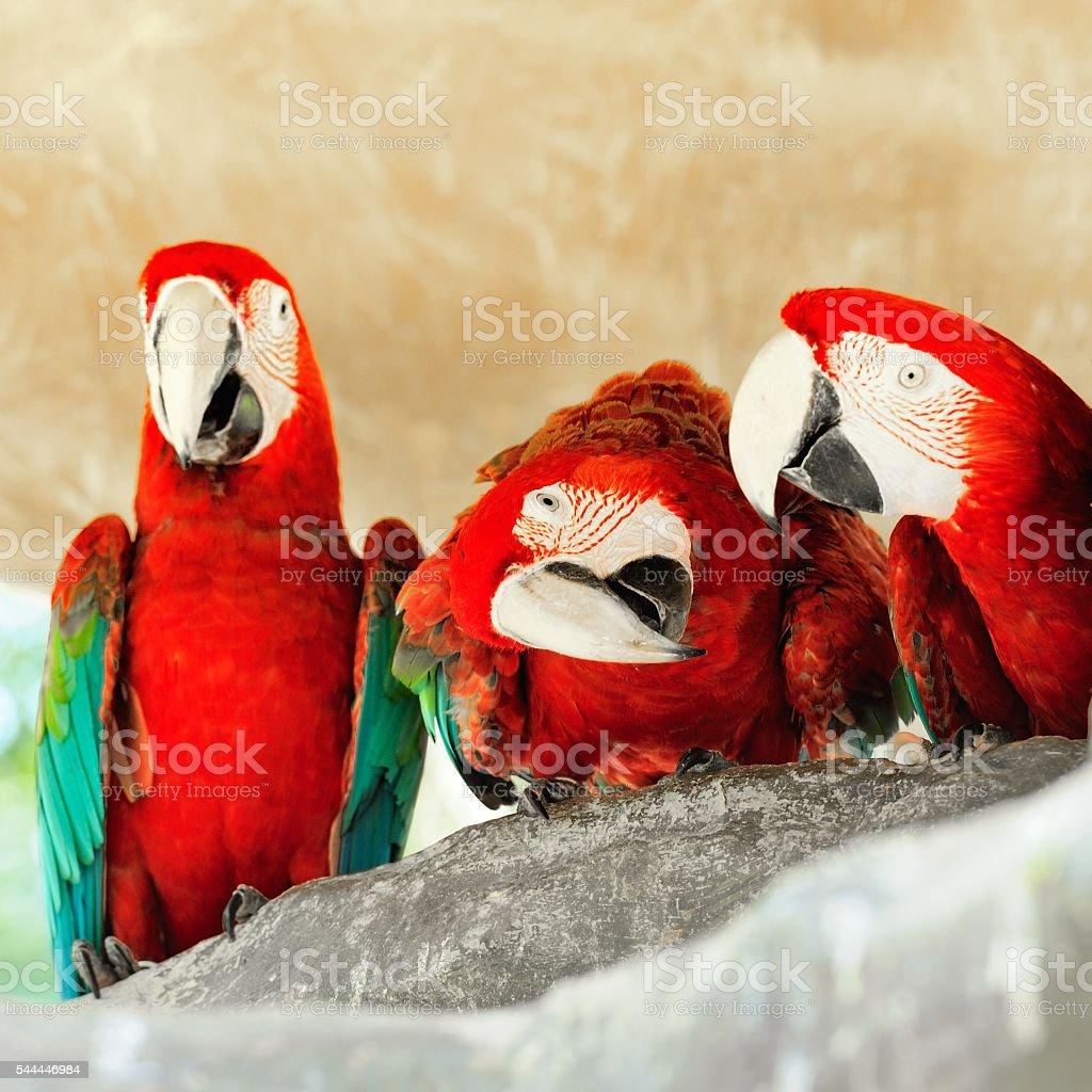 Three red parrots stock photo