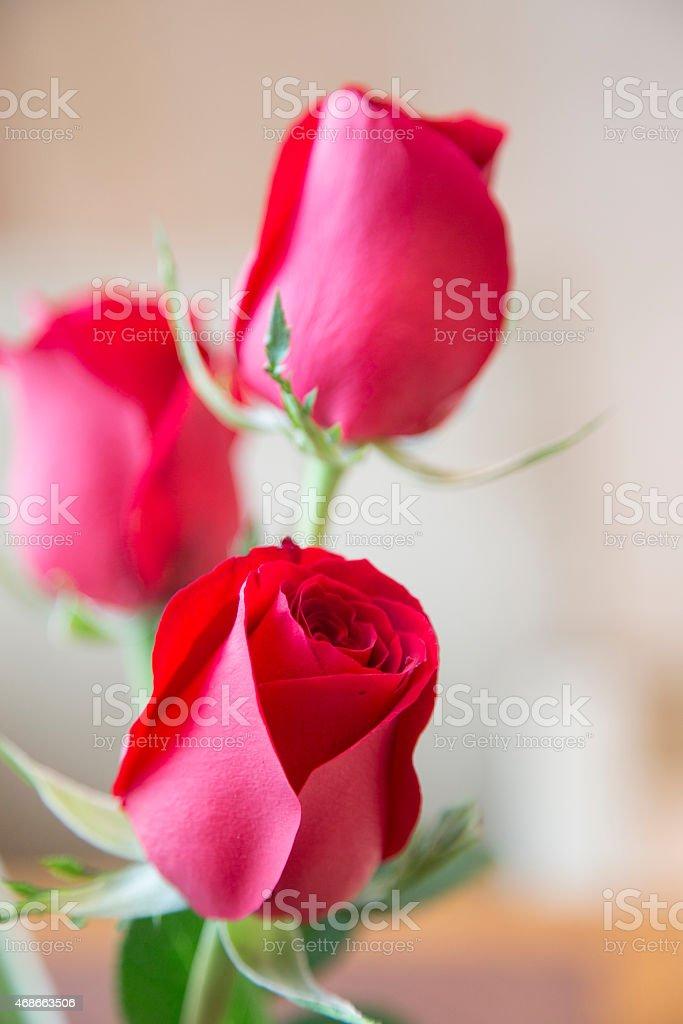 Three Red Roses stock photo