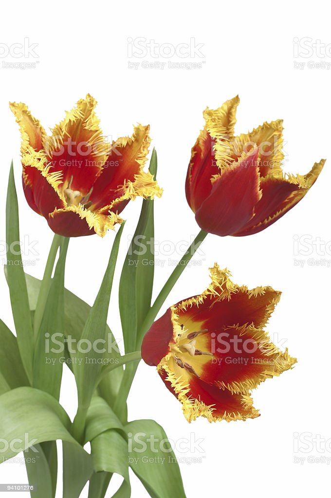 Three red  tulips cutout royalty-free stock photo
