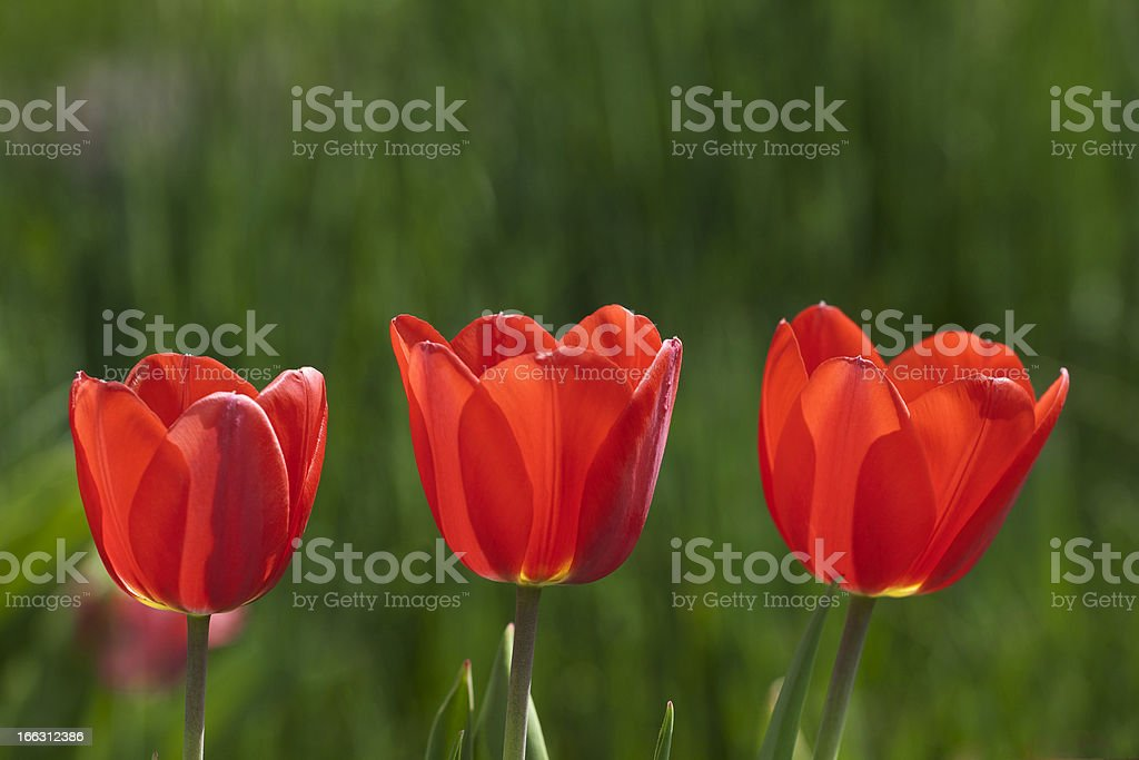 Three red tulips stock photo