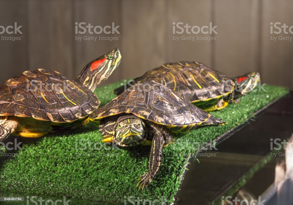 Three red-eared sliders. stock photo