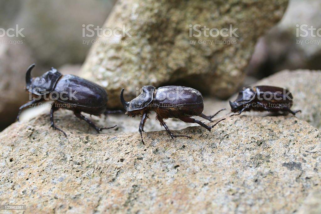 Three rhino beetles royalty-free stock photo