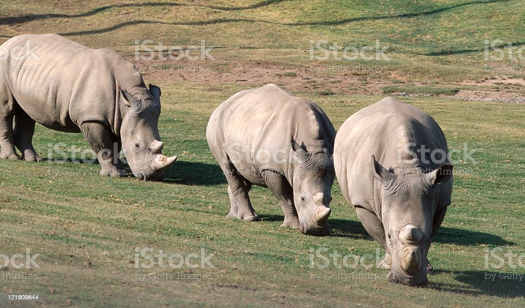 Three Rhinoceros royalty-free stock photo
