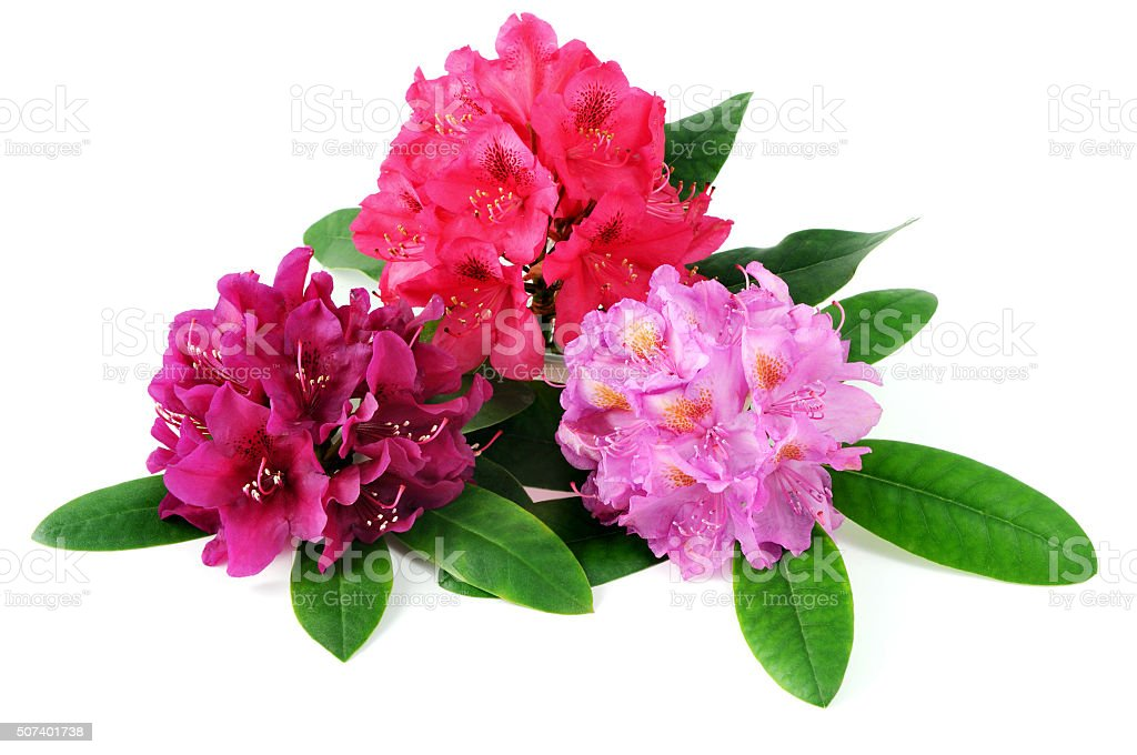 three rhododendron flowerhead on white isolated background stock photo