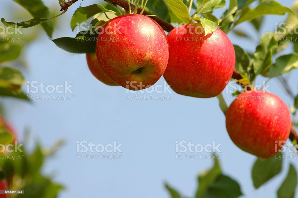 Three Ripe Apples on Tree stock photo
