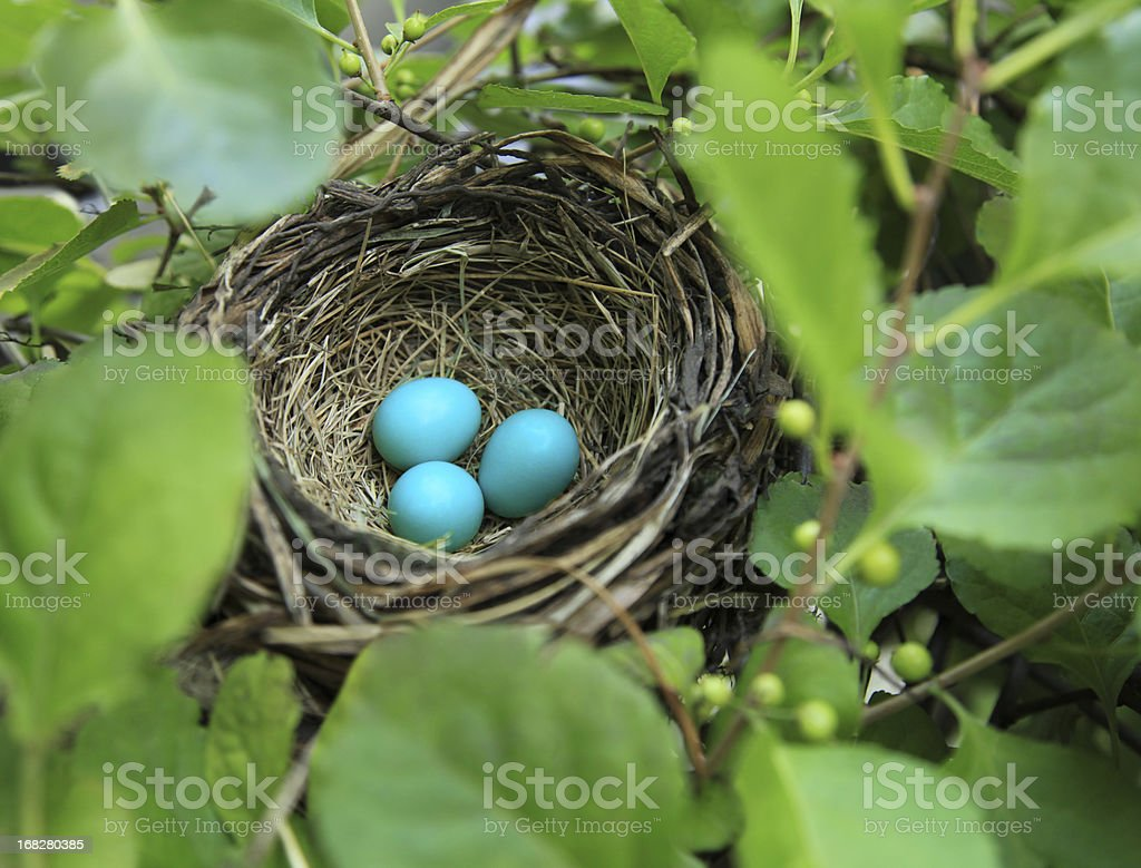 Three robin's eggs in a nest stock photo