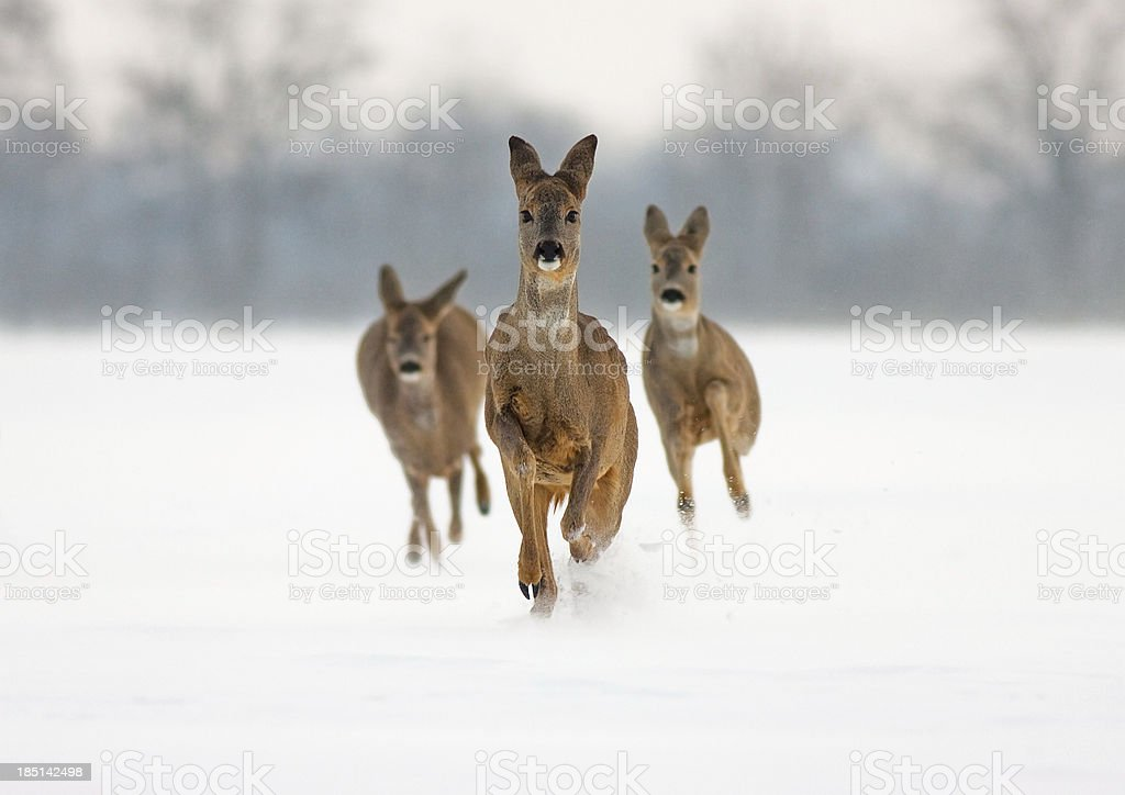 Three roe does running in snow towards cemra stock photo