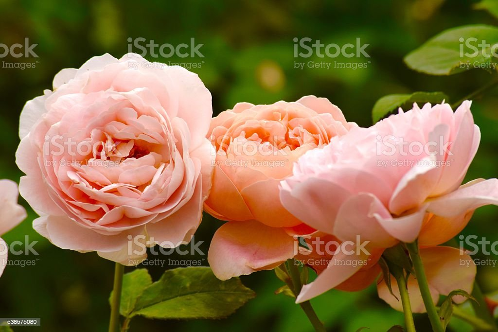 Three Roses in Pale Pink and Orange stock photo